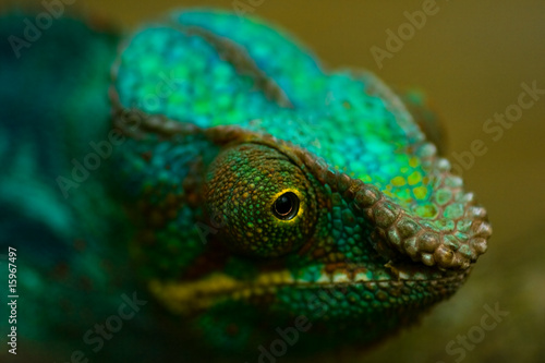 Head of Panther chameleon in close view
