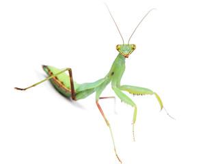 Mantis isolated on white background.