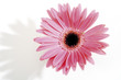 Pink Gerbera, close-up