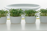 Cress in pots