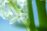 Hyacinth flower, close-up