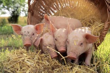 Schweine, kleine Ferkel kommen aus Körbchen