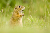 European ground squirrel eating grass