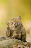Red fox whelp