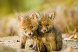 Red fox whelps in forest