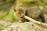 Red fox whelp chewing branch