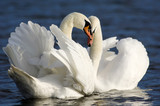 Mute swans on lake