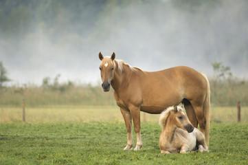 Haflinger Pferd und Fohlen stehen auf der Weide