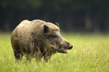 Wildschwein (Sus scorfa) im Gras