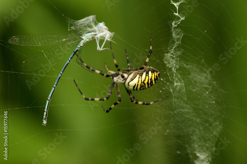 Trapped dragonfly spider\\\'s web, wasp spider (agiope bruennichi) close-up
