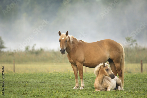 Haflinger horse and foal standing in pasture