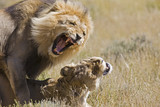 Africa, Namibia, Lion and lioness (Panthera leo) mating, close-up