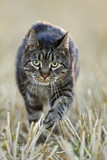 Cat walking across field, close-up
