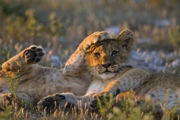 Afrika, Botswana, Zwei Löwenbabys (Panthera leo)