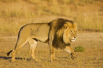 Afrika, Namibia, Löwe (Panthera leo) im Gras