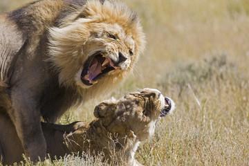 Afrika, Namibia, Löwe und Löwin (Panthera leo) bei der Paarung