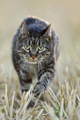 Katze läuft über Feld