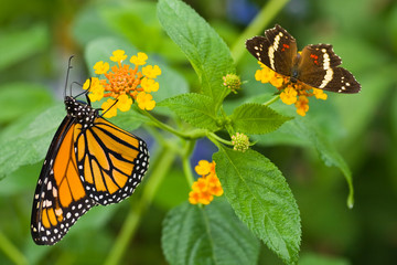 Monarch butterfly on Lantana camara