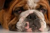 close up of ugly english bulldog with sad droopy eyes poster