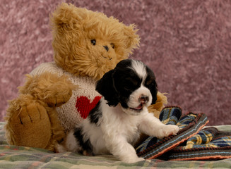cocker spaniel puppy with slippers and teddy bear