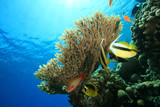 Acropora Coral and Bannerfish poster