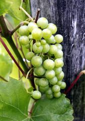 Weisse Weinbeeren