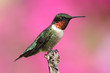 Ruby-throated Hummingbird On A Perch