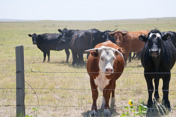 Young hereford bull with his cows
