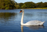 Mute swan swimming in  lake