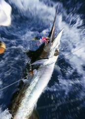 釣り上げられるカジキ