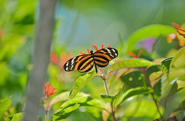 Beautiful Orange and Black Striped Butterfly