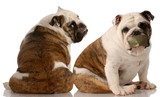dog fight - two english bulldogs having an argument