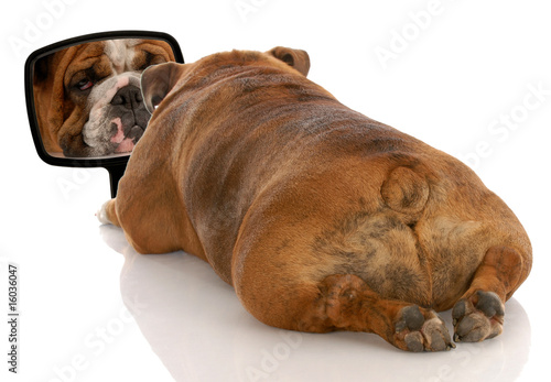 beauty is skin deep - bulldog looking at herself in the mirror