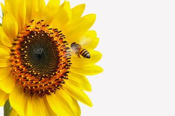 Girasol con abeja