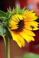 Girasol floreciendo con abeja
