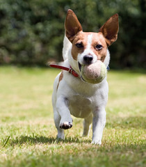 Jack Russell terrier wants to play ball