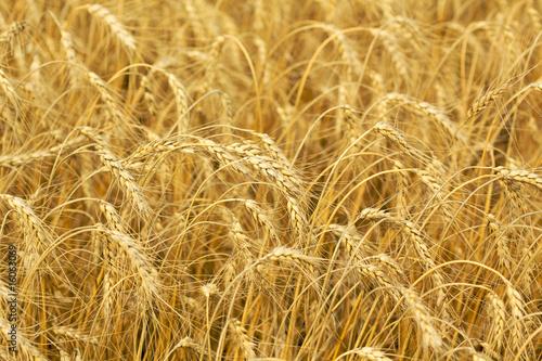 Wheat background - 16063069