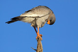 Pale Chanting goshawk (Melierax canorus), South Africa poster