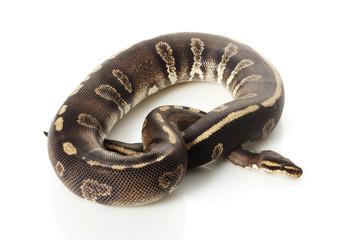 super chocolate ball python