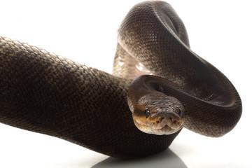 camouflage ball python