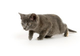 gray kitten stalking prey poster