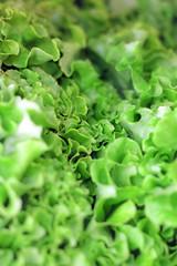 leafs of a ripe green lettuce
