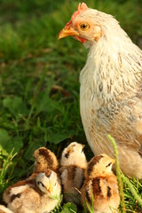 Mother chicken