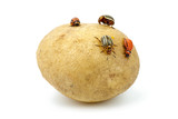 Potato infested with colorado potato beetles and grubs poster