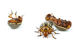 One alive and three dead colorado potato beetles poster