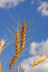 Ears of wheat against a background of the sky