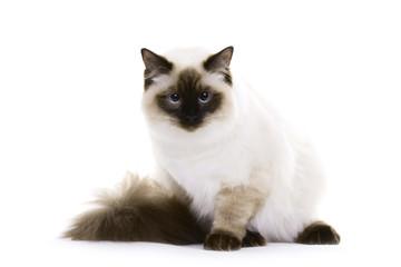 Cat with blue eyes, Ragdoll