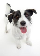 sweet russel terrier looking