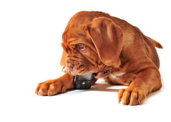 Puppy with Cell Phone