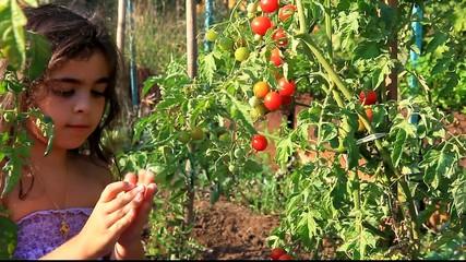 Manger des tomates cerises BIO !!